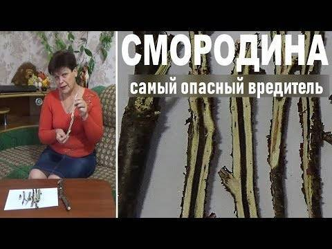Стеклянница – опасный вредитель из семейства чешуекрылых