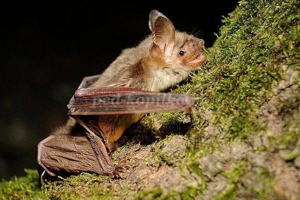 Опасен ли укус летучей мыши для человека: ответы экспертов