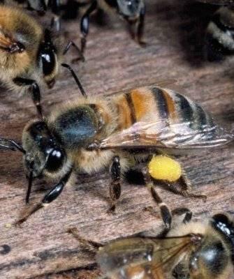 Приокская порода пчел и ее особенности