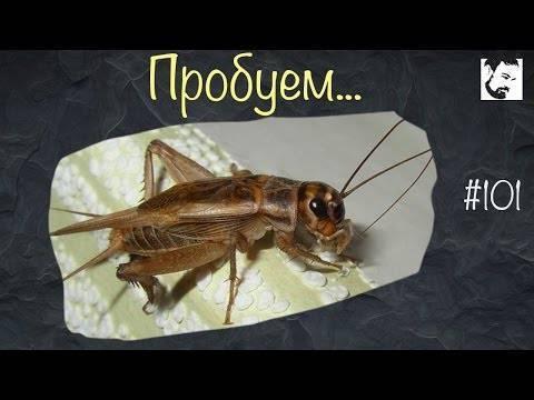 Что делает кузнечик стрекочет. мелодичный звук сверчка, или музыкальные способности насекомого. почему стрекочут кузнечики