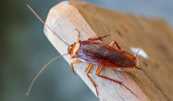 Рыжие тараканы они же прусаки в квартире: описание вида, жизненный цикл, как быстро размножаются, как от них избавится