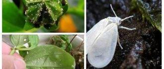 Белокрылка на комнатных растениях — как бороться с вредителем?