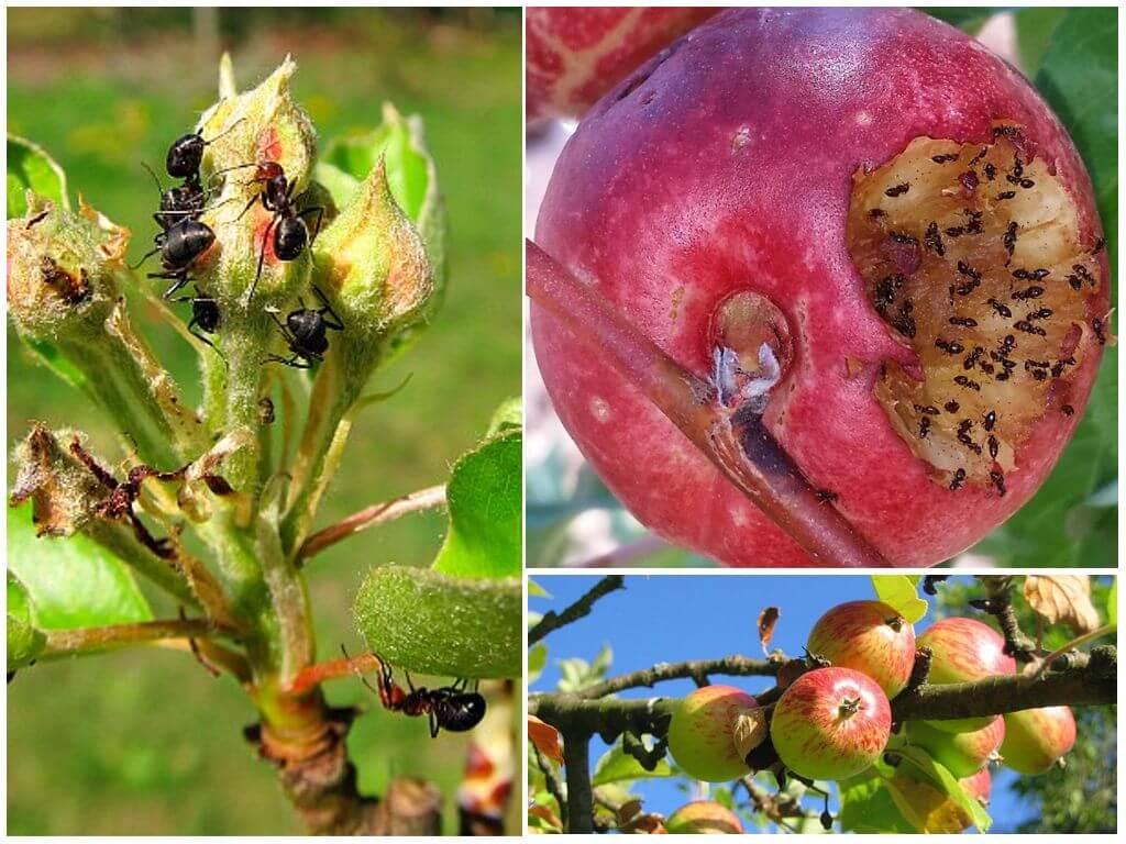 Муравьи на яблоне как бороться