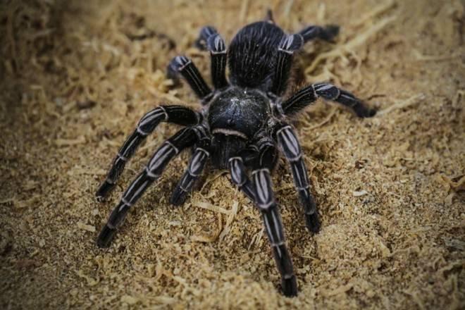 Паук тарантула