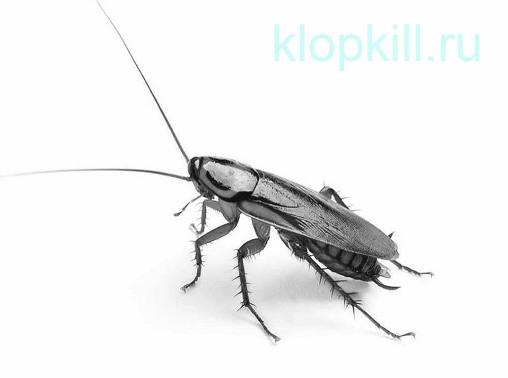 Какие животные питается тараканами домашними. разновидности тараканов, образ жизни, среда обитания и поведение. как отличить самку таракана от самца