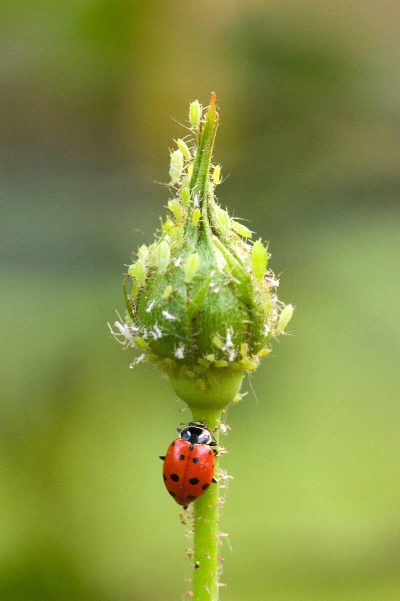 Какие виды тли встречаются в природе и на садовых растениях