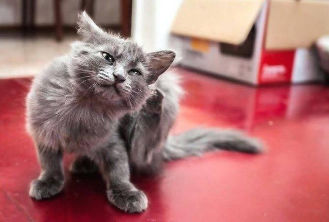 Как вывести блох у кошки в домашних условиях
