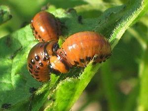 Про колорадского жука для детей
