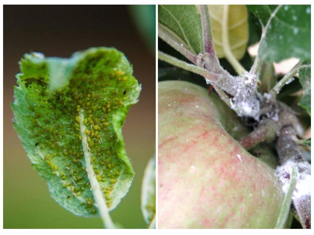 18 способов, как избавиться от тли на яблоне