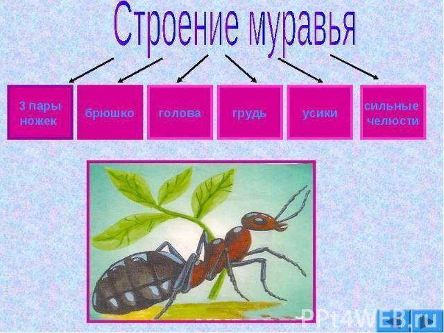Интересные факты о муравьях, анатомия, виды, питание, размножение, устройство муравейника