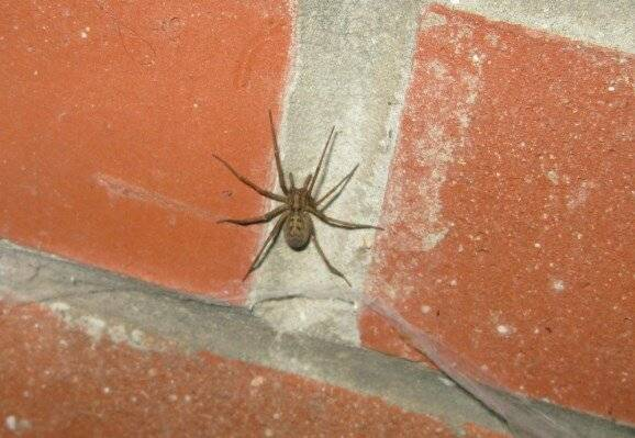 Воронковый паук – враг или друг человека