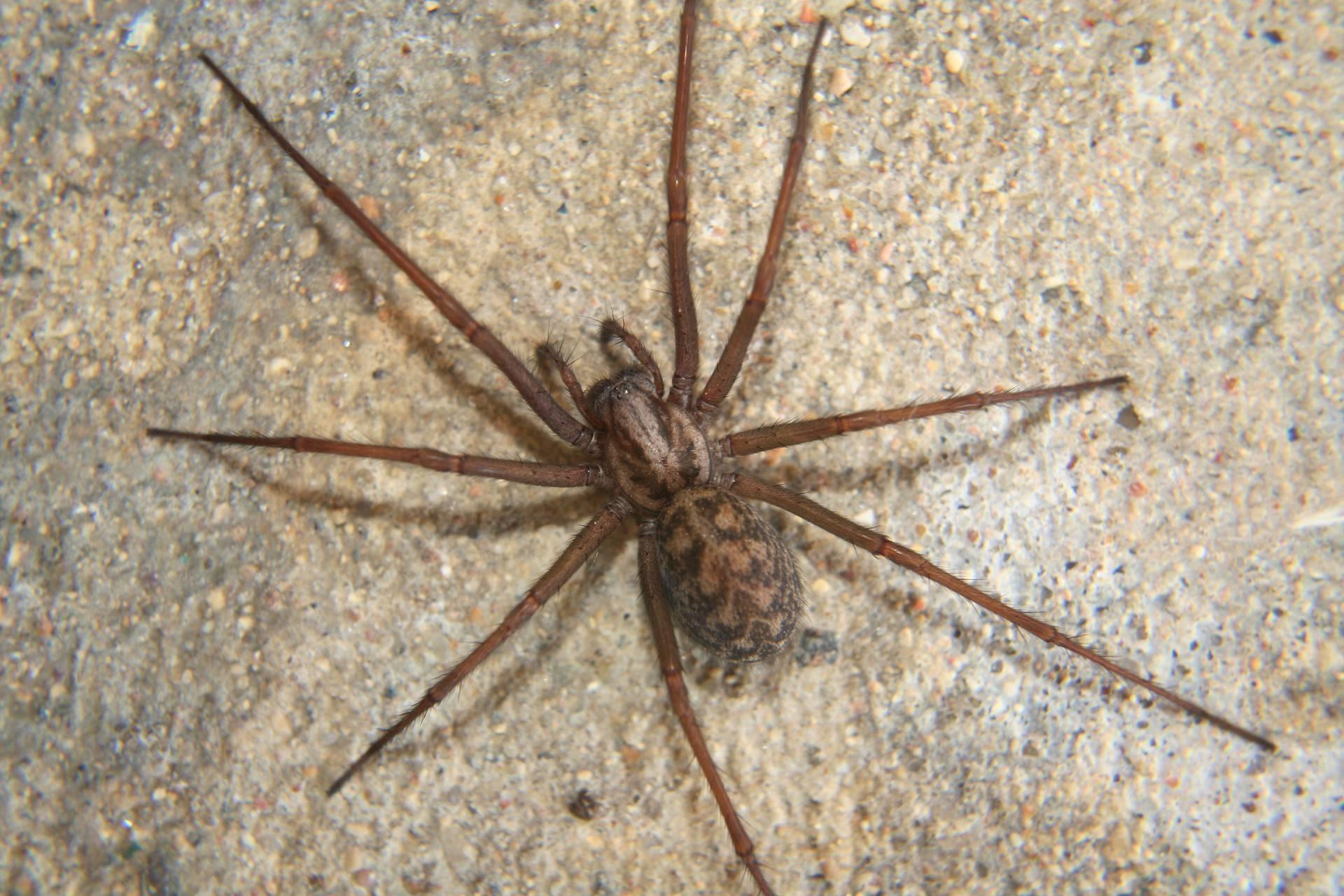 Домовой паук: описание и особенности строения, образ жизни, способы борьбы