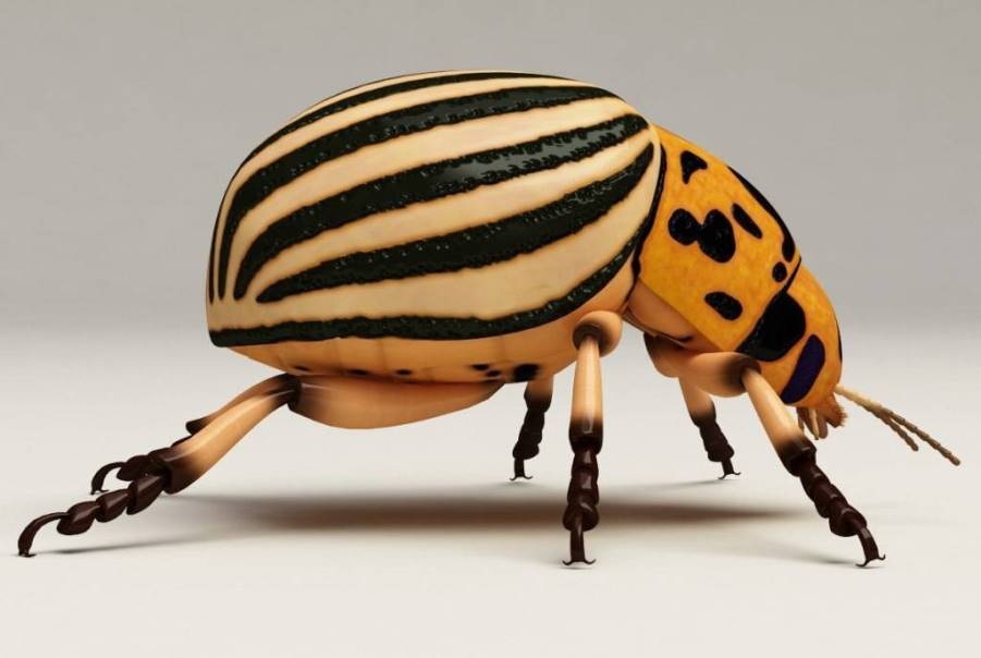 Насекомое колорадский жук
