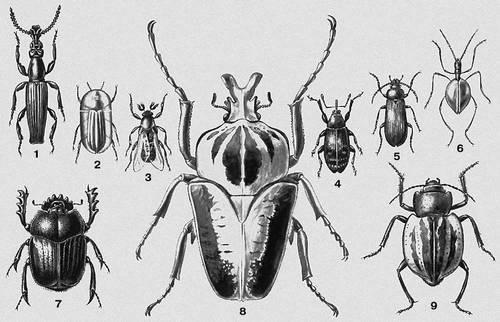Шпанка красноголовая— друг или враг растений?