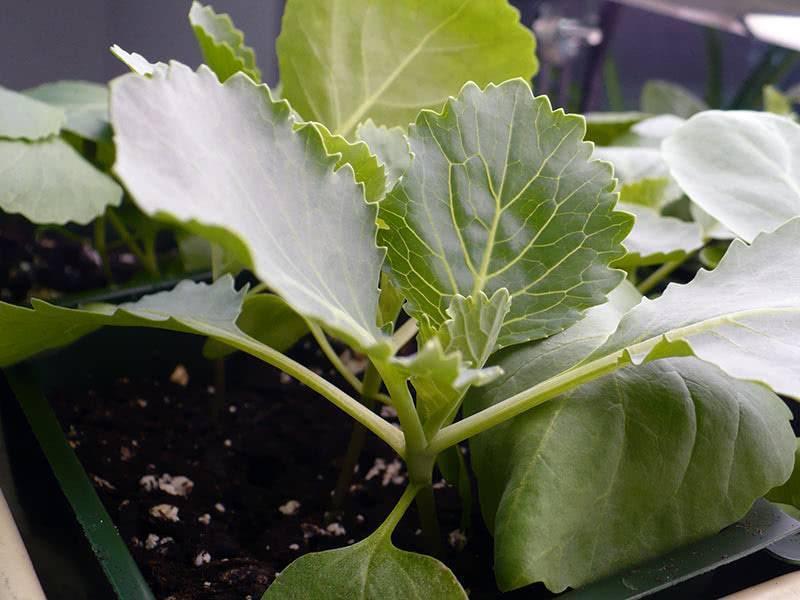 Чем обработать капусту от тли в открытом грунте и домашних условиях