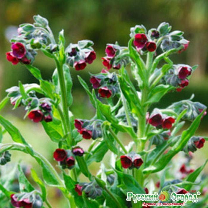 Чернокорень лекарственный: выращивание, размножение, применение