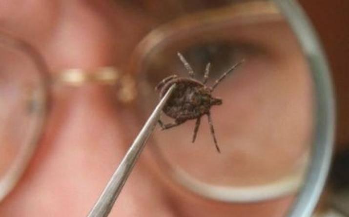 Чем опасен таежный клещ, переносчиком каких болезней является