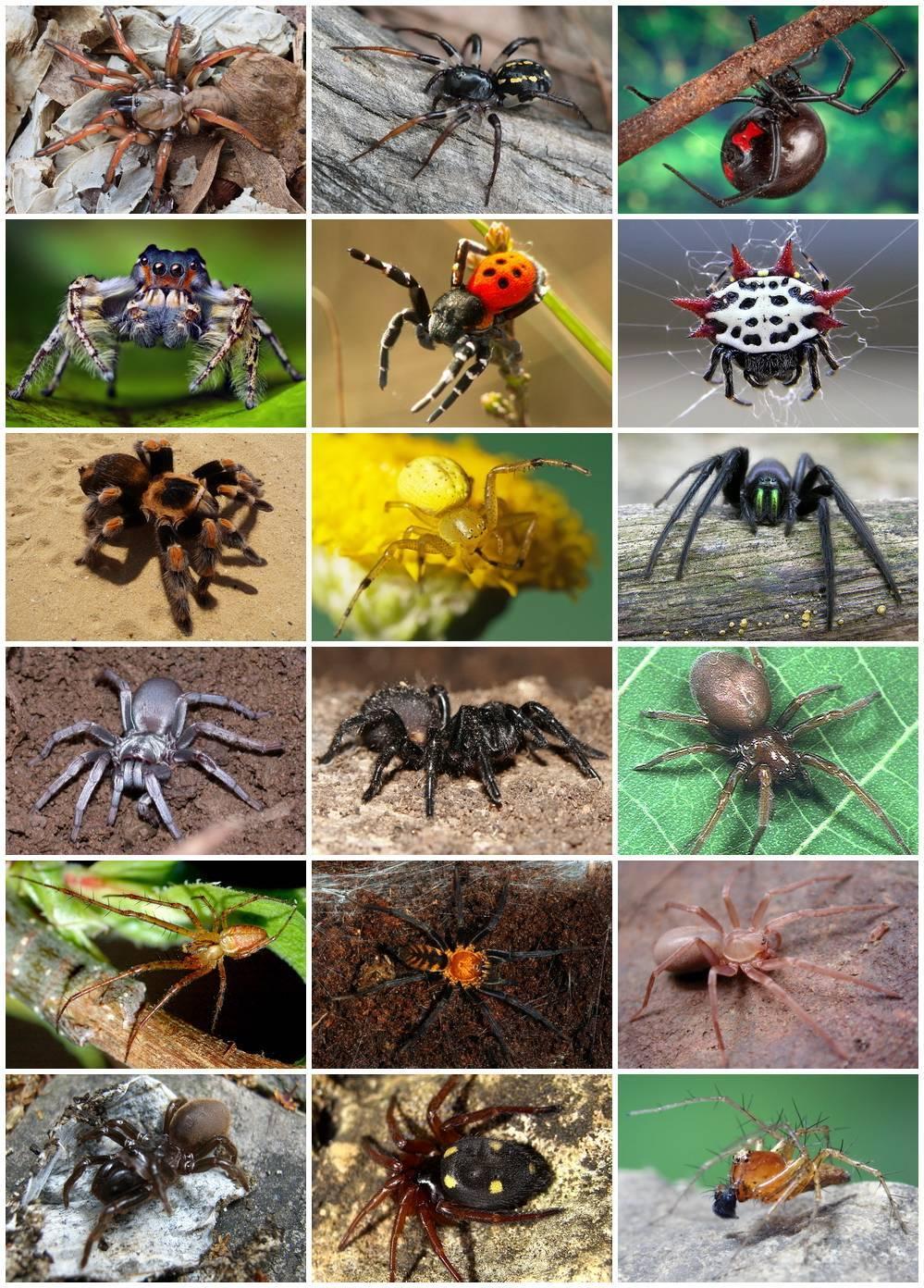 Паук-скакун – самый стремительный представитель своего семейства. паук-скакун — чемпион по прыжкам как размножаются пауки-скакуны