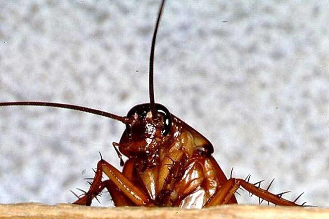 Как применять нашатырный спирт от тараканов?
