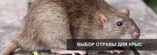 Как использовать ратобор от крыс