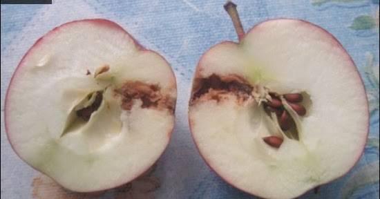 Болезни и вредители груш