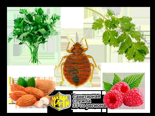 Крестоцветный клоп: фото, описание, размножение, как спасти урожай и как избавиться от клопа