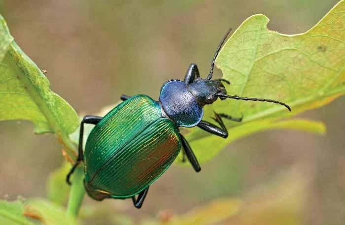 Красотел сетчатый: образ жизни редкого вида, условия сохранения численности насекомых