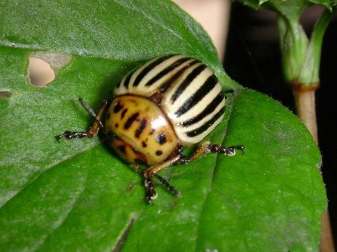 Престиж от колорадского жука