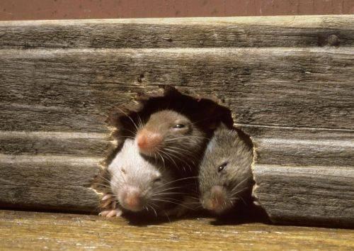 Мышь-сосед