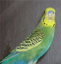 Поражение клещом домашних попугаев. типичные признаки. как избавиться от паразитов