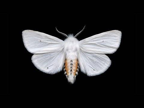 Волнянки – бабочки-вредители: особенности видов, способы борьбы