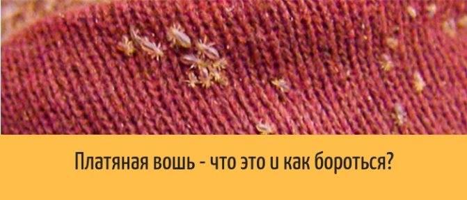 Бельевые вши: откуда они беруться и как от них избавиться (с фото)