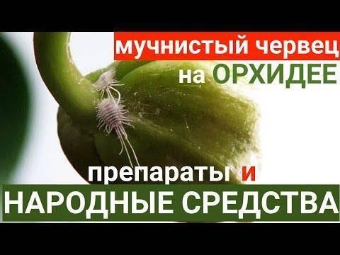 Мучнистый червец накомнатных растениях: как узнать вредителя, иможноли спасти цветы отгибели