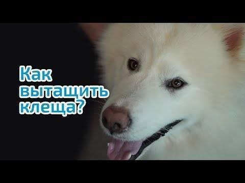 Клещ на собаке: как защитить питомца и избавить от паразита