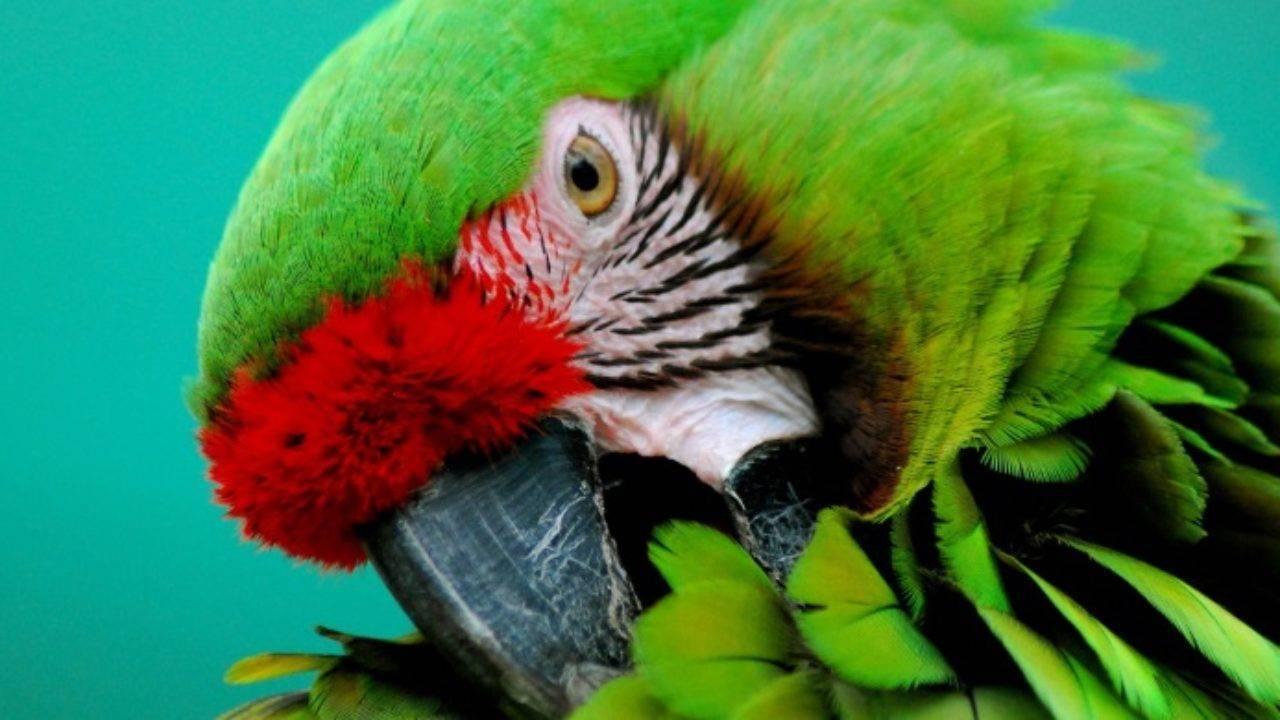 Клещ у попугая: причины появления, симптомы и что делать