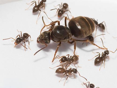 Фараонов муравей в квартире или доме: описание, средства борьбы и как от него избавится навсегда