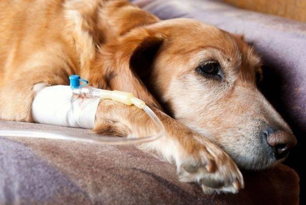 Какие признаки и симптомы бывают после укуса клеща у собаки