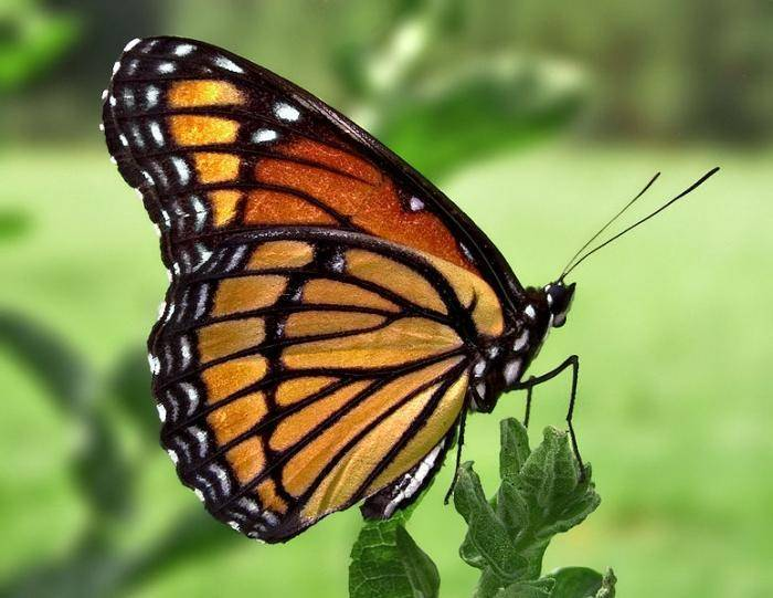 Бабочка голубянка