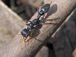 Как выглядят муравьи-бульдоги?
