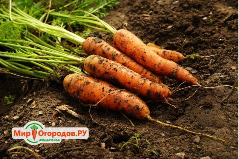 Как избавиться от морковной мухи без химии