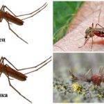 Комары самка и самец сравнение. чем питаются комары. комар – описание и фото