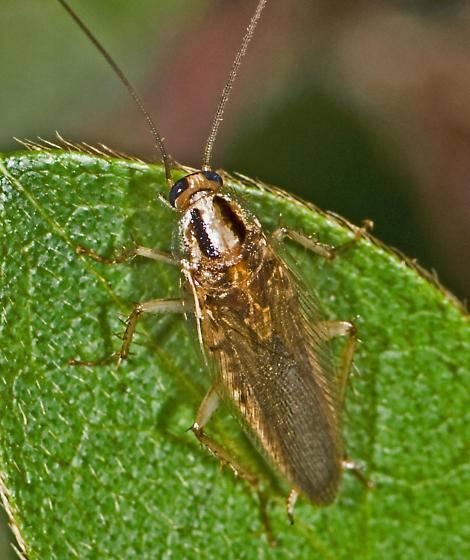 Бывают ли летающие тараканы?