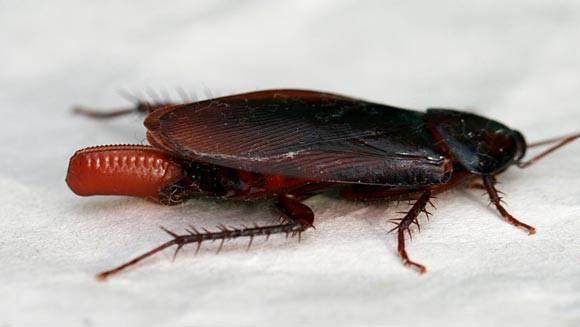 Как быстро размножаются домашние тараканы. размножение тараканов