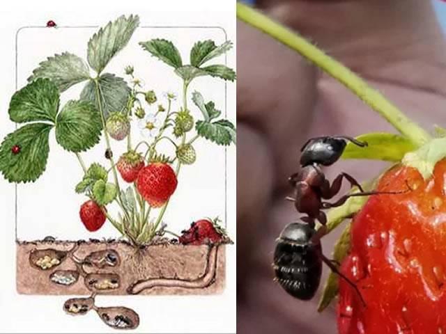 Как избавиться от муравьев на клубнике химическими и народными средствами