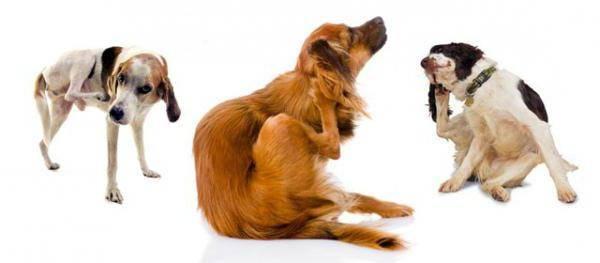 Почему собака чешется, если нет блох?