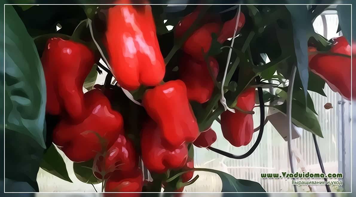 Болезни перцев: описание с фотографиями и способы лечения