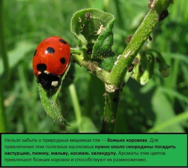 Как избавиться от муравьев на смородине и защитить ее от тли