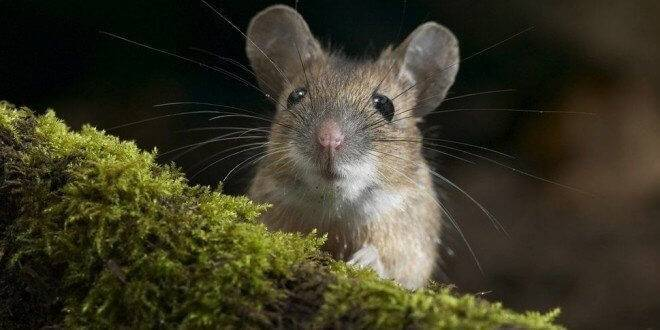 Мыши в квартире. как навсегда избавиться от опасных и неприятных грызунов?