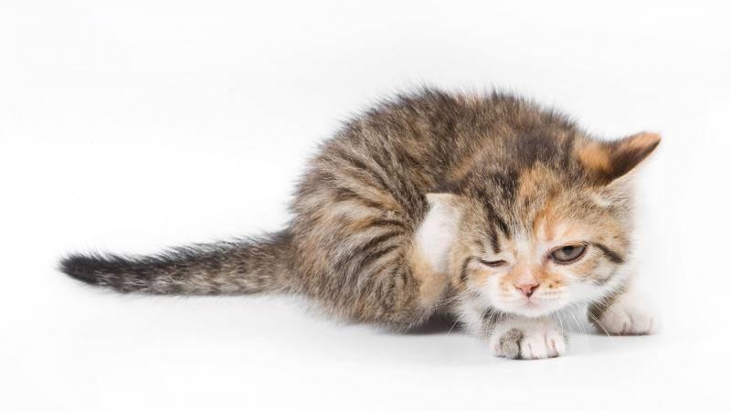 7 лучших капель на холку от клещей для кошек и котят – советы ветеринаров