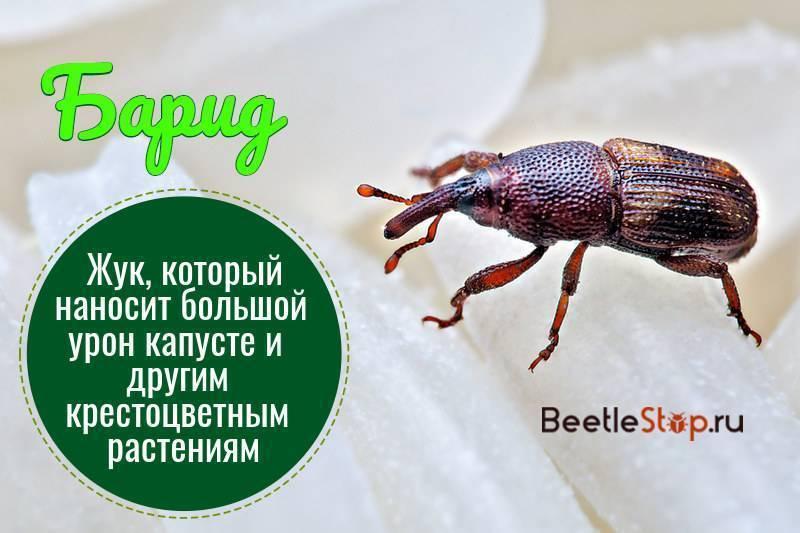 Барид: фото насекомого и борьба с ним